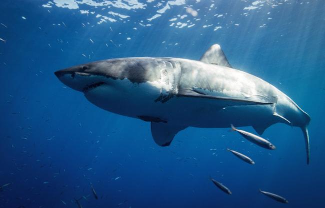 great-white-sharks