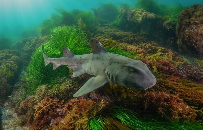 horn-sharks