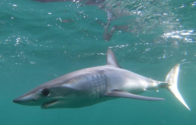 pelagic-sharks