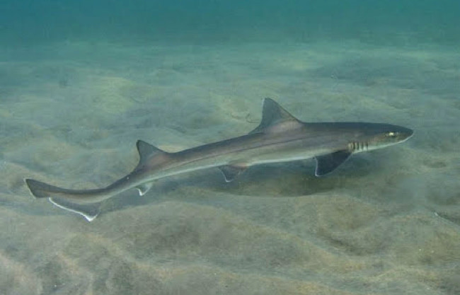 smooth-hound-sharks
